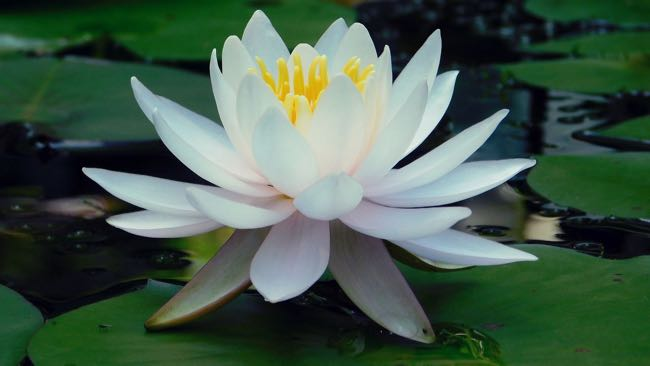How White Water Lily Benefits The Skin Cv Skinlabs